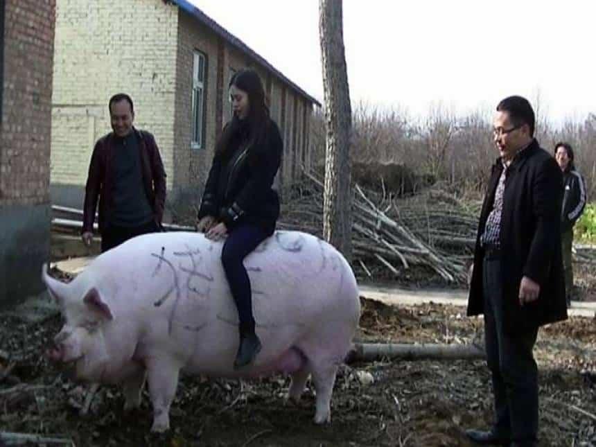 China cria porcos gigantes de at? 500 quilos