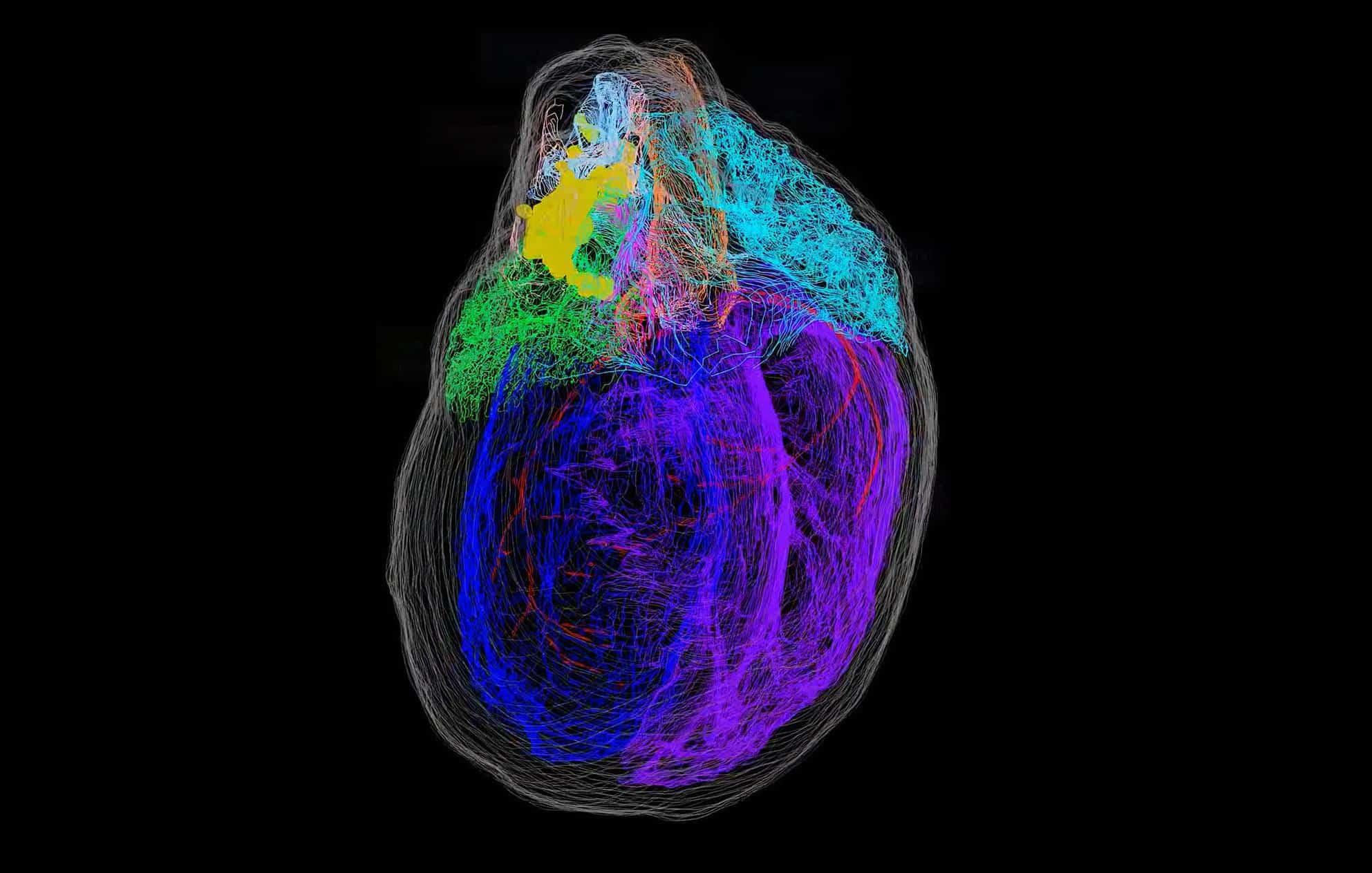 Mapa 3D do coração revela 'mini cérebro' do órgão