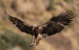Pesquisadores ficam sem dinheiro depois de águia enviar SMS do Irã