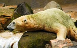 Ursos polares não são necessariamente brancos; entenda