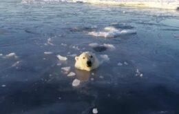 Veja urso polar caçando um drone