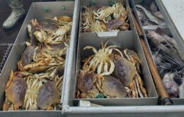 Acidez da água compromete casca de caranguejos no Pacífico