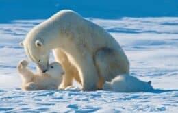 Ursos polares podem ser extintos até o fim do século, diz estudo