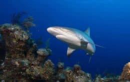 Tubarões estão 'funcionalmente extintos' em vários recifes no mundo