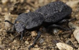 Meet the 'iron' beetle that can handle 39 times its weight