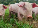 Doctors Transplant Pig Kidney into Human Patient for the First Time