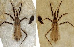 Entomologistas identificam pênis de um inseto assassino em fóssil de 50 milhões de anos