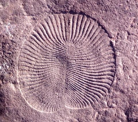 Fóssil de Dickinsonia, um animal da era Ediacaran
