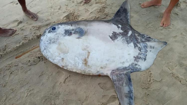 Peixe-lua aparece morto em praia de Fortaleza. Imagem: Reprodução/Redes Sociais
