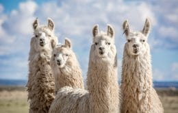 Llama antibodies can help prevent variants from escaping vaccines