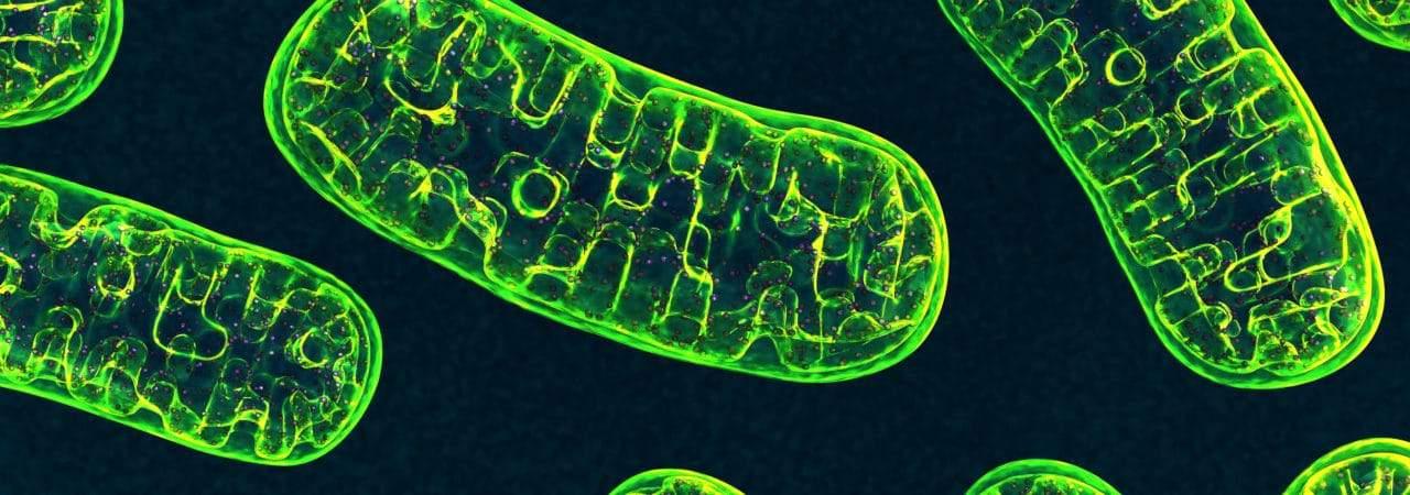 Mitocôndrias, organelas responsáveis por gerar energia para nossas células