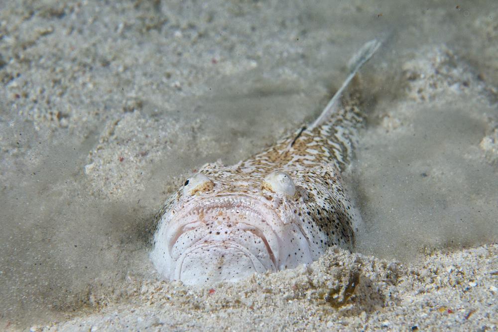 Stargazer is a poisonous fish