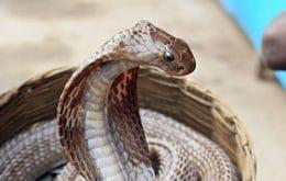Dieta de cobras pode afetar o quanto elas são venenosas, aponta estudo