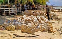 Conchas gigantes no valor de R$ 139 milhões são apreendidas nas Filipinas