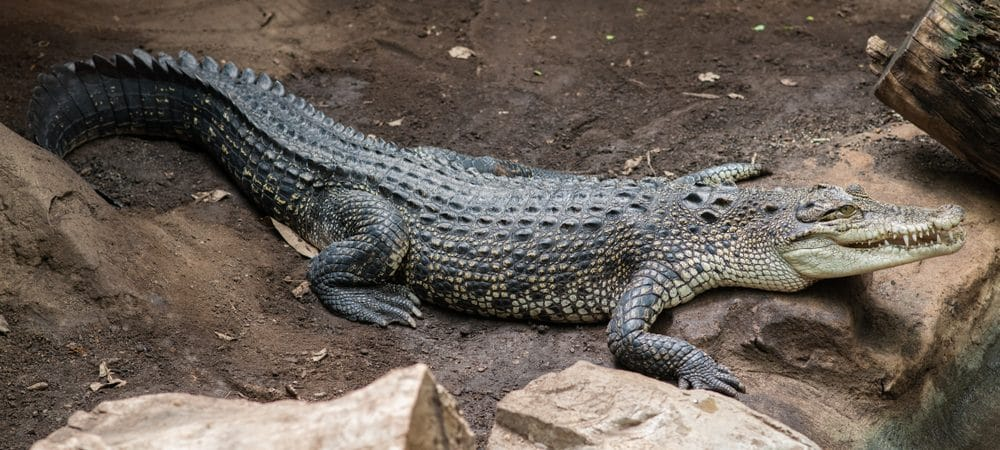 Crocodilo siamês