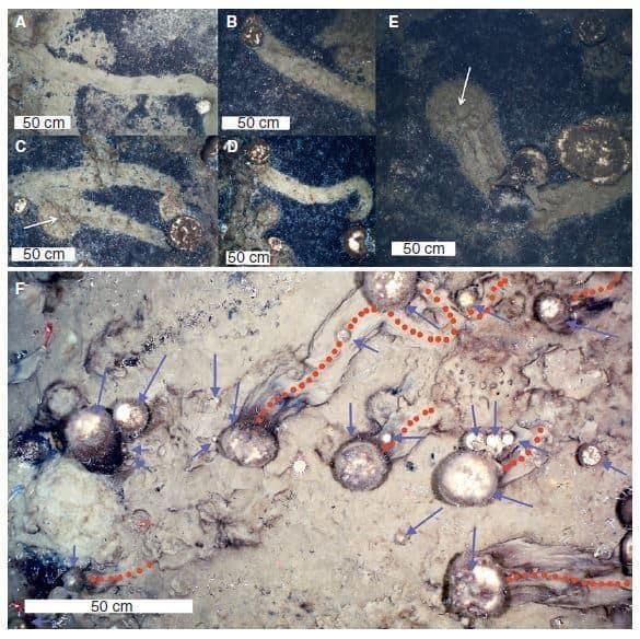 Rastros deixados no fundo do mar por esponjas marinhas