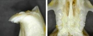 Dentição do furão