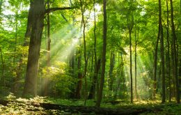 Scientists bet on genetically modified trees against climate change