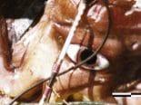 Susto nas profundezas: lula saltadora gigante é avistada no Mar Vermelho