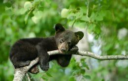Doença neurológica misteriosa faz ursos agirem como 'cães bonzinhos'