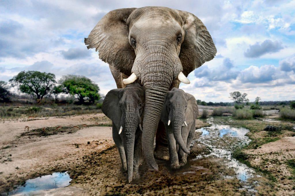 Elefantes são uma das espécies ameaçadas por conflitos na África.