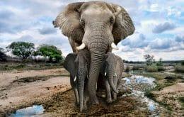 Irmãos de elefantes podem influenciar no tempo de vida e peso do animal