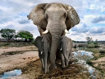 Elephant siblings can influence the animal's lifespan and weight