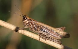 Time Bomb Eggs: Learn How Grasshoppers Survive Intense Droughts
