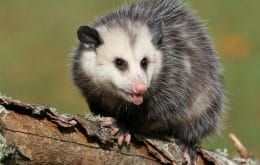 Opossum fossil? Chilean scientists discover new creature that walked among dinosaurs
