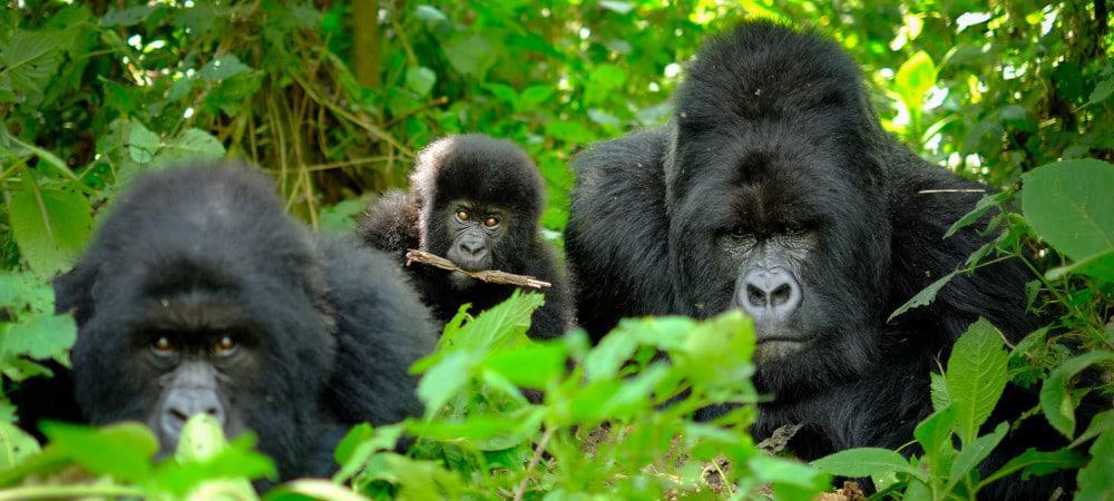 Família de Gorilas da Montanha em Ruanda