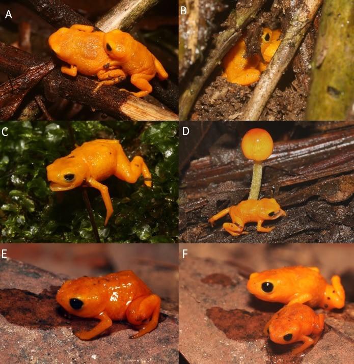 Nova espécie de Sapo-abóbora é descoberta no Brasil. Imagem: Artigo PLOS ONE