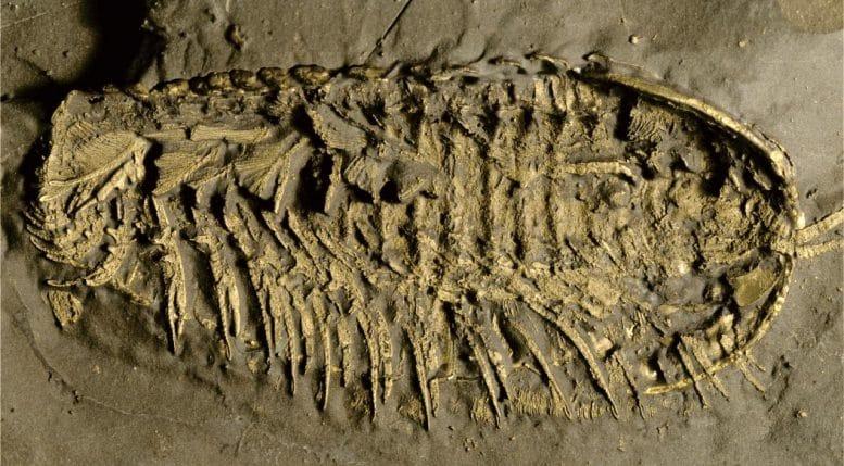 Fósil de trilobites conservado en pirita. Créditos: Jin-Bo Hou / UCR