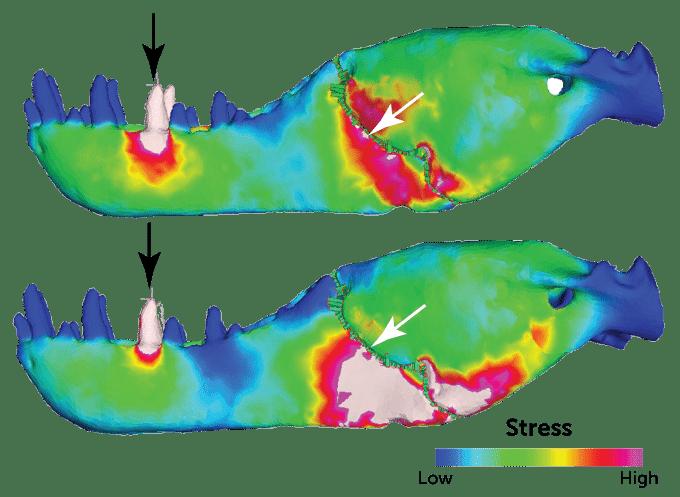 Imagem mostra simulações em 3D da mandíbula de um tiranossauro. A mordida do extinto dinossauro é, até hoje, a mais poderosa da história