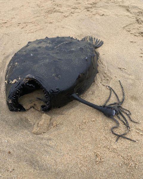 Criatura encontrada na Califórnia é conhecida como peixe-futebol. Créditos: Davey's Locker Sportfishing & Whale Watching