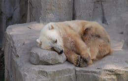 Aquecimento global aumentou número de ursos grolares, híbrido de urso polar com urso pardo