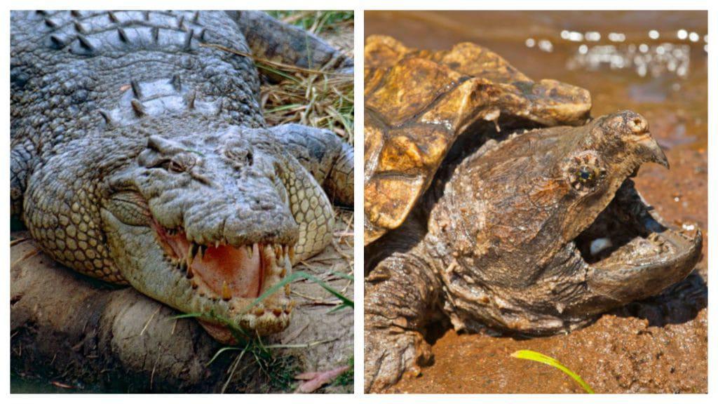 Montagem mostra o crocodilo de água salgada e a tartaruga mordedora lado a lado