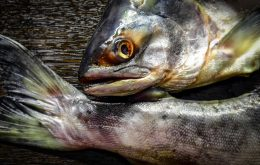 Salmão de cativeiro pode ter espalhado vírus mortal para peixes selvagens