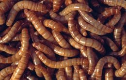 Flour produced with larvae is approved for human consumption in Europe