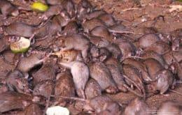 Ratos invadem cidades do leste da Austrália e aterrorizam moradores