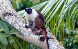 Macacos copiam 'sotaque' para se misturar com vizinhos
