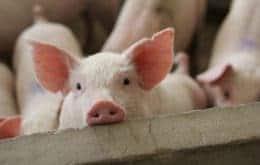 Porcos e roedores podem respirar pelo intestino