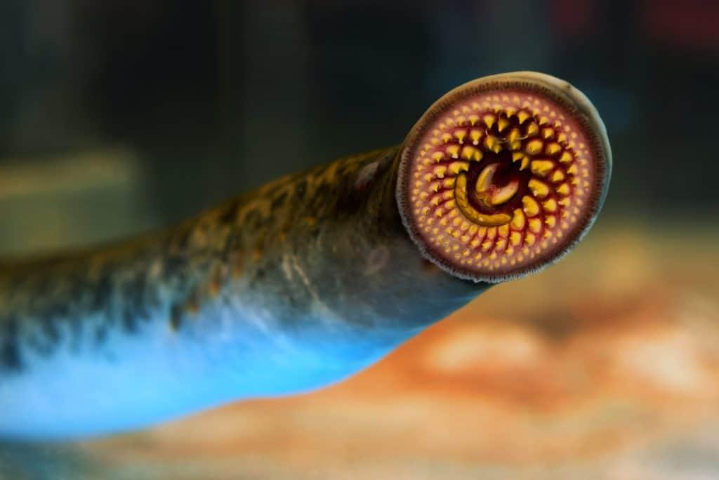 A lampreia-do-pacífico, ou peixe-vampiro, tem uma boca redonda com dentes cortantes.