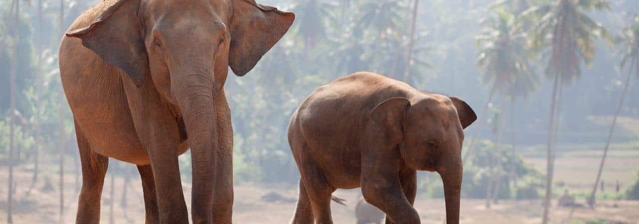Elefantes indianos - um adulto e um filhote - andando na Índia