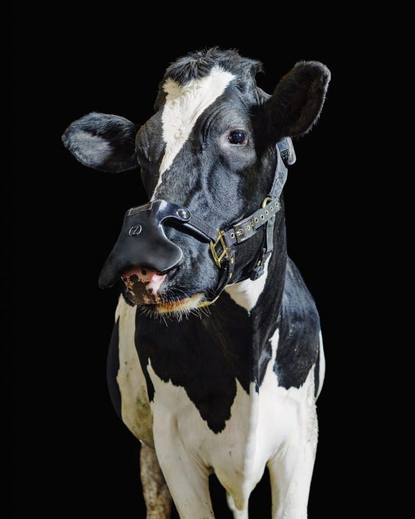 Imagem mostra a máscara para vacas da Zelpi, sendo vestida em um animal