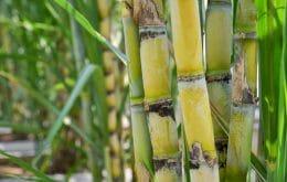 Cientistas descobrem que fungo pode ser responsável por infestação em canaviais