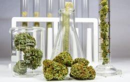 Cannabis alivia a dor e contribui para o 'efeito de entourage', diz estudo