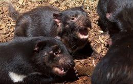 Esforços para salvar diabos da tasmânia mataram uma colônia de pinguins
