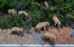 15 elefantes estão caminhando sem rumo para o norte na China e ninguém sabe o motivo