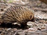 Pênis quádruplo? Animal australiano apresenta característica que intriga cientistas