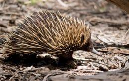 ¿Cuádruple pene? El animal australiano tiene una característica que intriga a los científicos